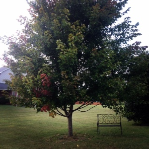A hint of autumn finds the tree outside my window